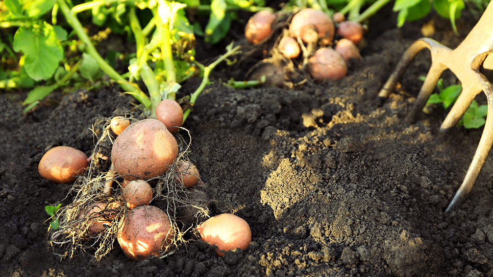 ways-to-grow-potatoes-potatoes-in-soil