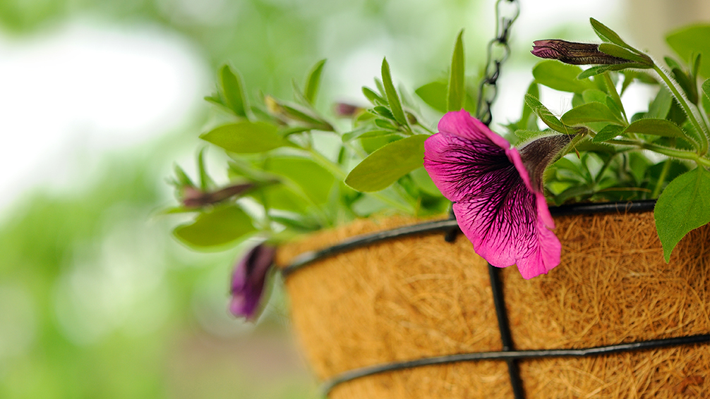 edible-hanging-baskets-flowers-close-up
