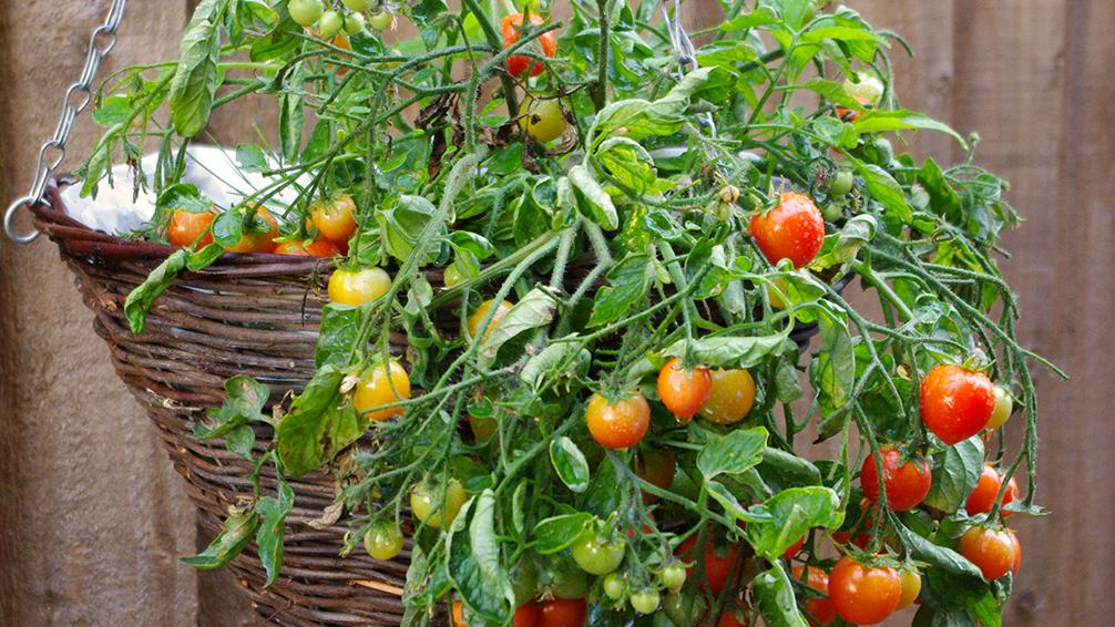 edible-hanging-baskets-tomato-hanging-basket