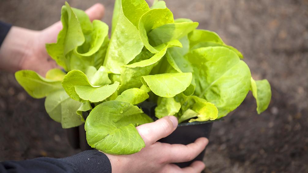 kid-friendly-vegetable-garden-child-planting-lettuce