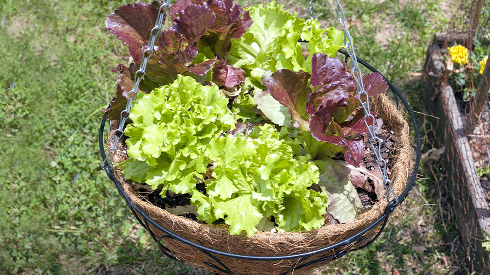 small-space-vegetable-gardening-basket-lettuce