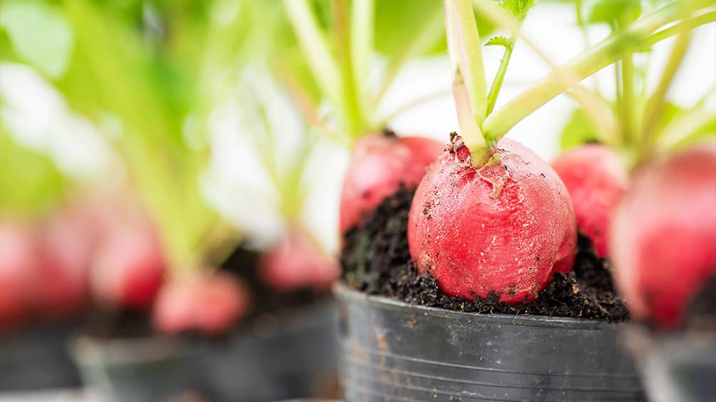 small-space-vegetable-gardening-radishes-up-close