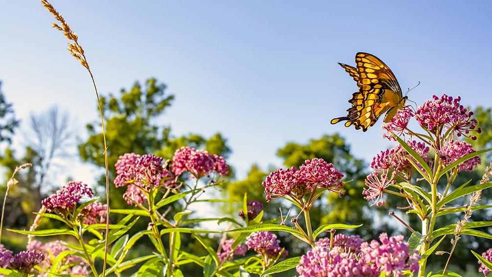 urban-prairie-gardening-milkweed-and-butterfly