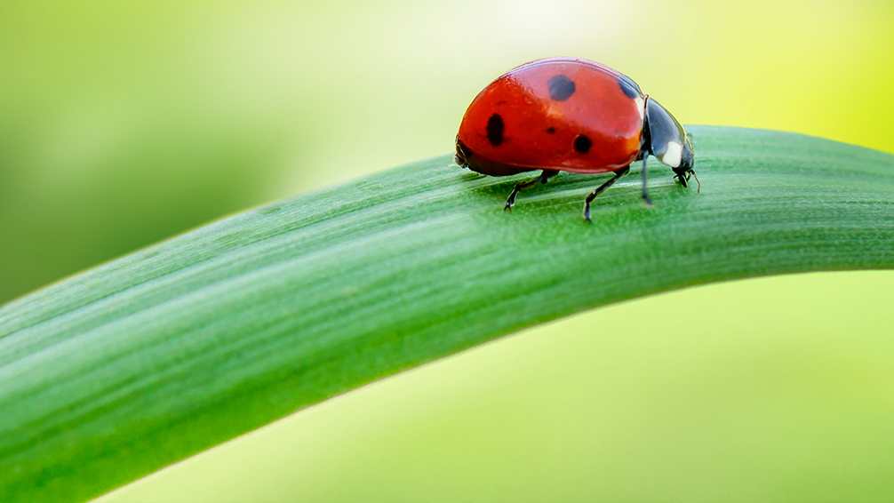 easy-sustainable-gardening-ladybug-close-up-on-leaf