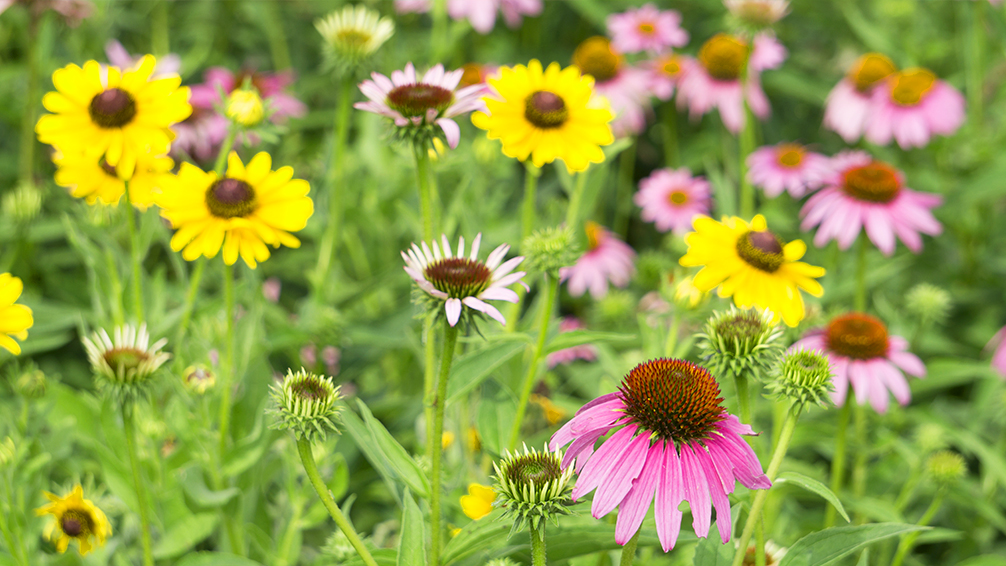 easy-sustainable-gardening-native-plants-coneflowers-black-eyed-susans