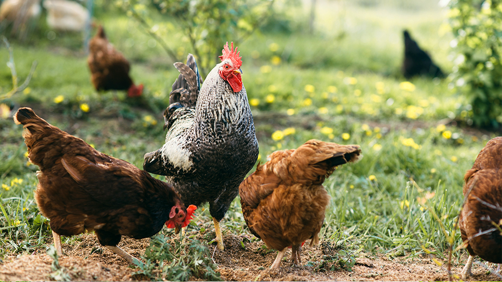fowl-friendly-plants-chickens