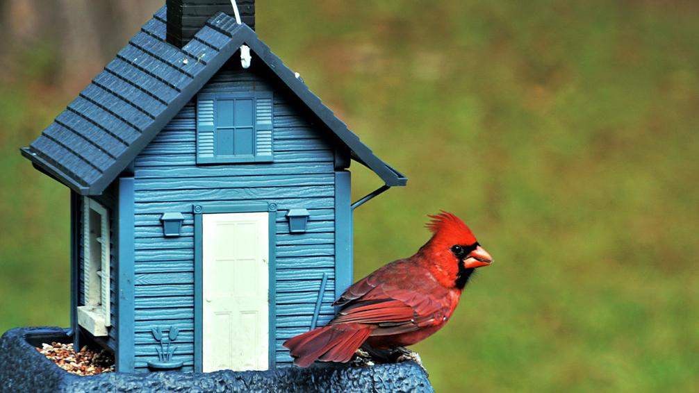 the-birds-are-back-birds-cardinal-blue-house