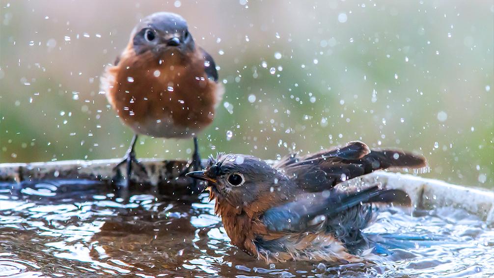 the-birds-are-back-birds-splashing
