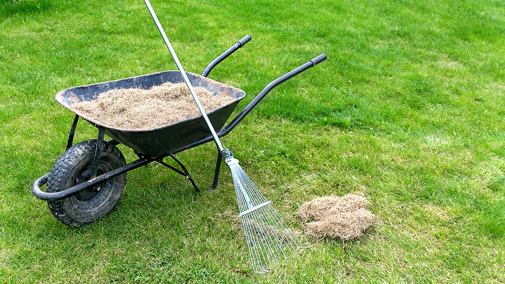 pfas-mushrooms-on-your-lawn-dethatching
