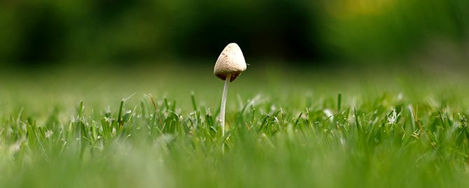 pfas-mushrooms-on-your-lawn-single-mushroom-header
