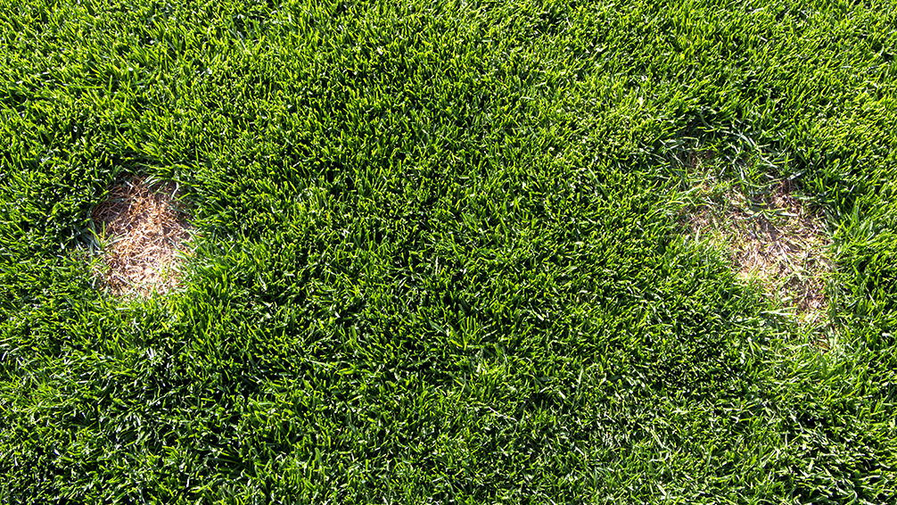 PFAS-lawn-sod-webworms-chinch-bugs-brown-patches-pest-damage