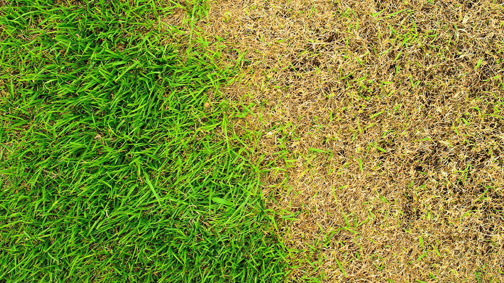 PFAS-lawn-sod-webworms-chinch-bugs-chewed-grass