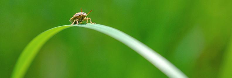 PFAS-lawn-sod-webworms-chinch-bugs-header