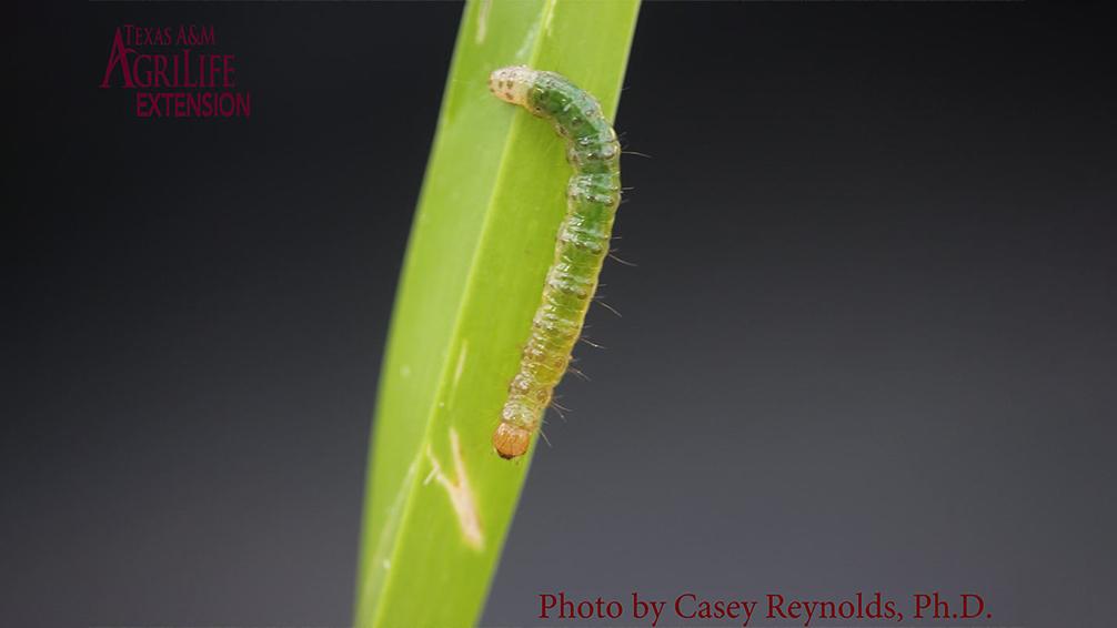 lawn-sod-webworms-grass