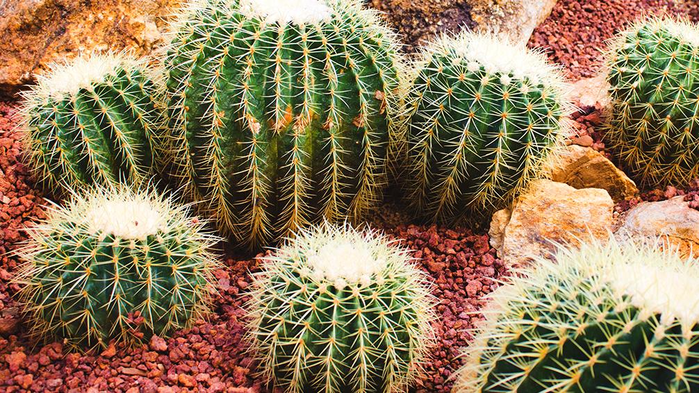 pfas-collect-colorful-cute-cacti-golden-barrel-cactus