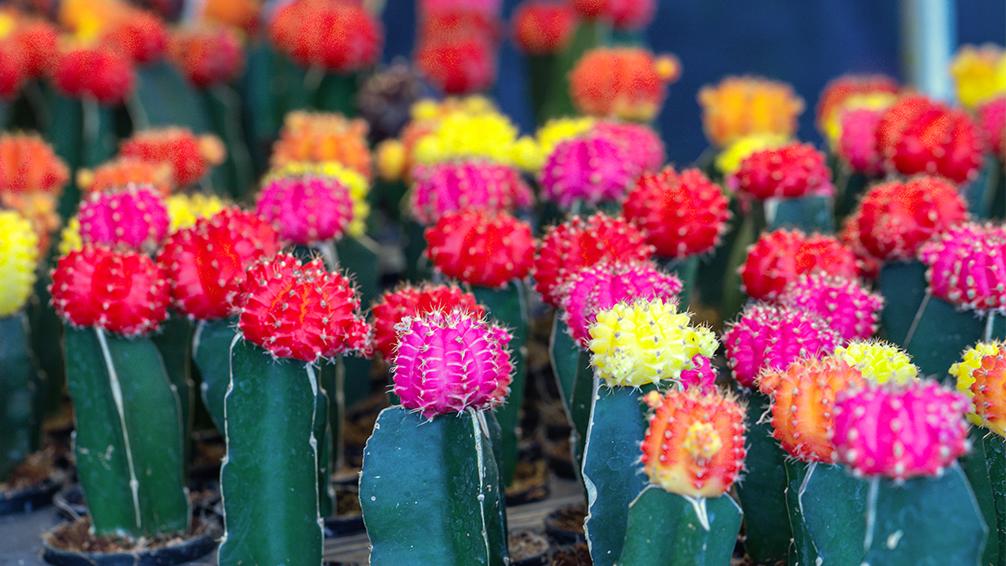 pfas-collect-colorful-cute-cacti-moon-cactus