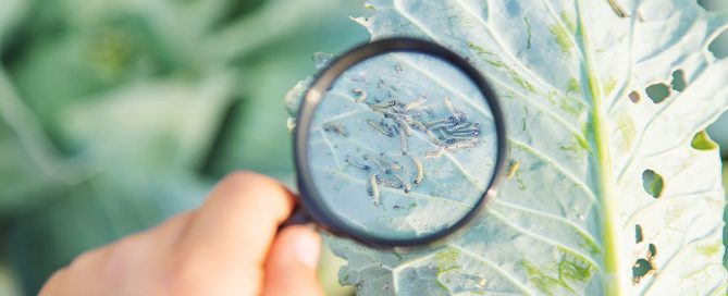 PFAS-blog-magnifying-glass-cabbage