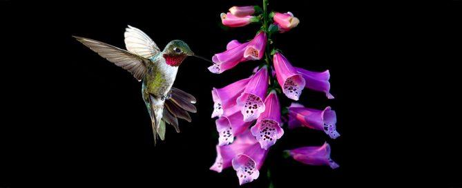 PFAS-hummingbird-plants-trumpet-tubular-flower-header-purple