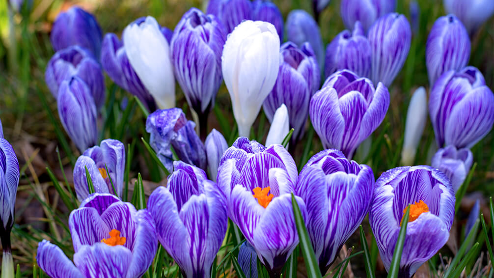 PFAS-spring-blooming-bulbs-chill-crocuses