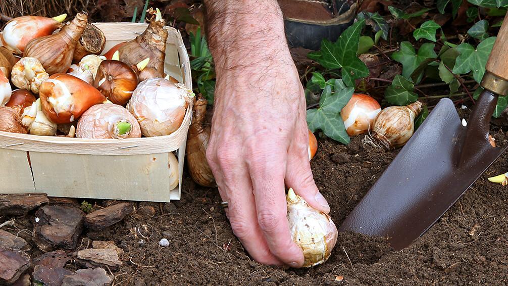 PFAS-spring-blooming-bulbs-chill-planting-bulbs