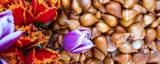 PFAS-spring-blooming-bulbs-chill-tulip-bulbs
