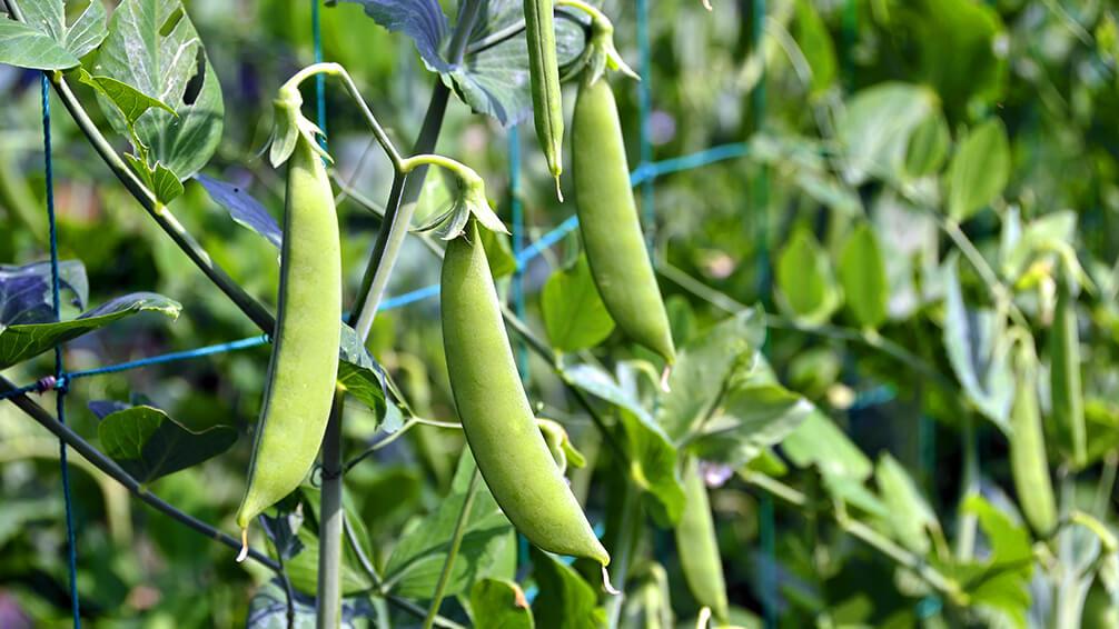 PFAS-fall-garden-veggies-peas