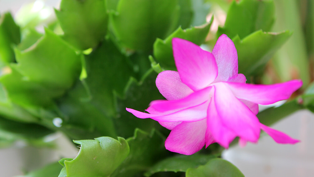 PFAS-christmas-cactus-pink-bloom