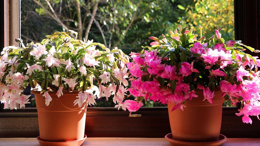 PFAS-christmas-cactuses-in-window