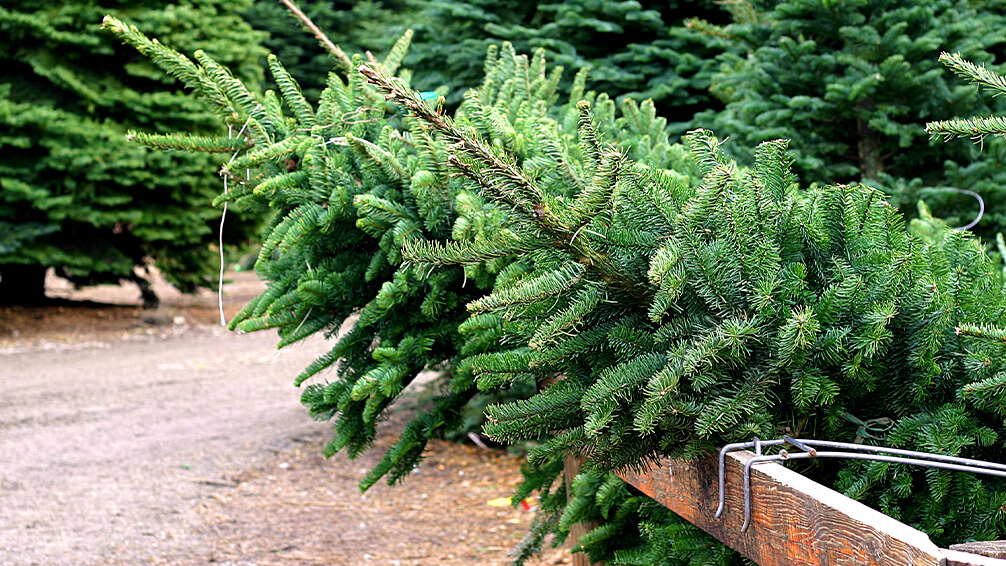 PFAS-christmas-tree-trends-trees-in-lot