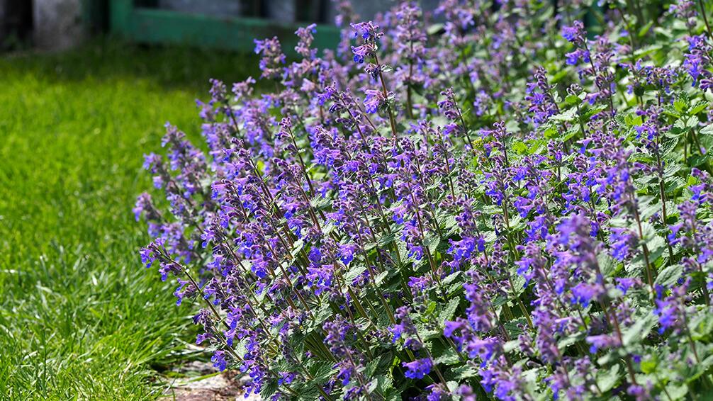 PFAS-2021-garden-houseplant-trends-catmint-garden