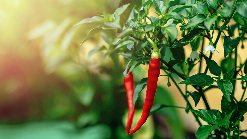 PFAS-2021-garden-houseplant-trends-hot-pepper-plant