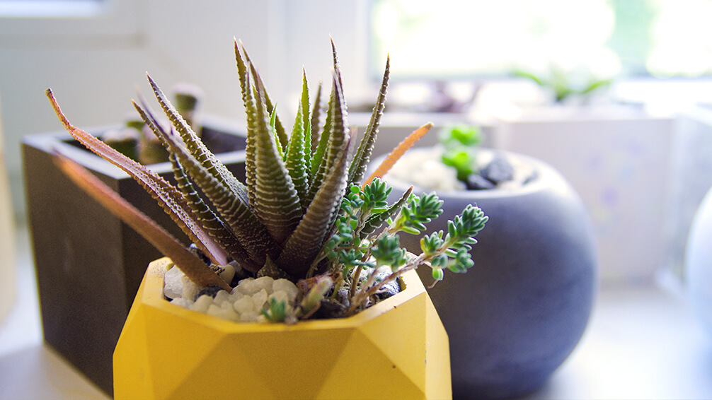 PFAS-2021-garden-houseplant-trends-succulent-yellow-pot