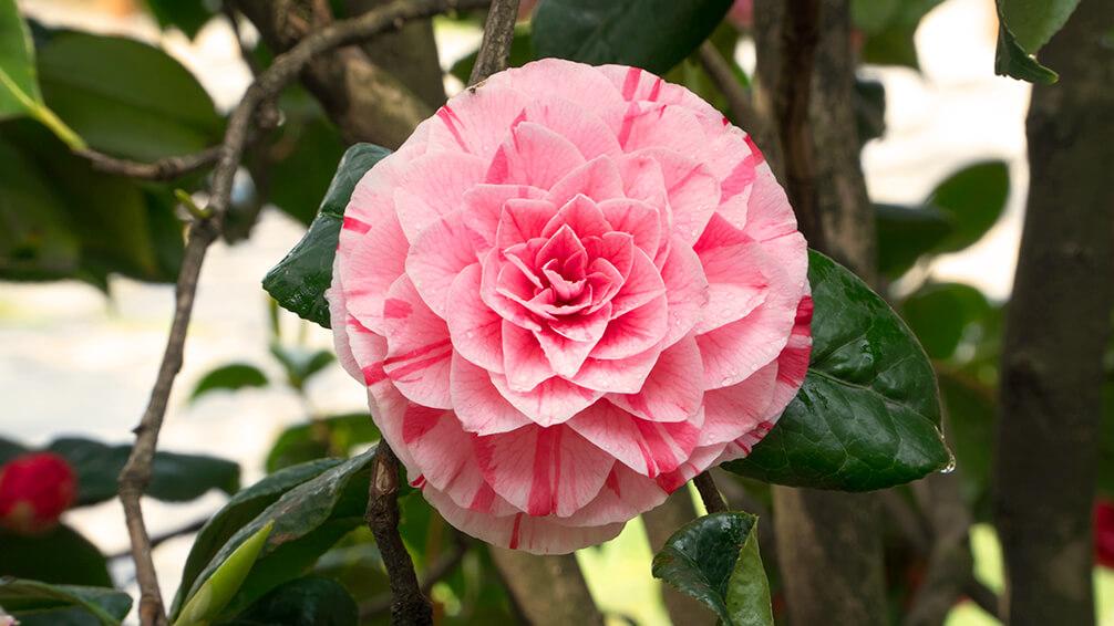 PFAS-camellias-in-houston-camellia-bonomiana