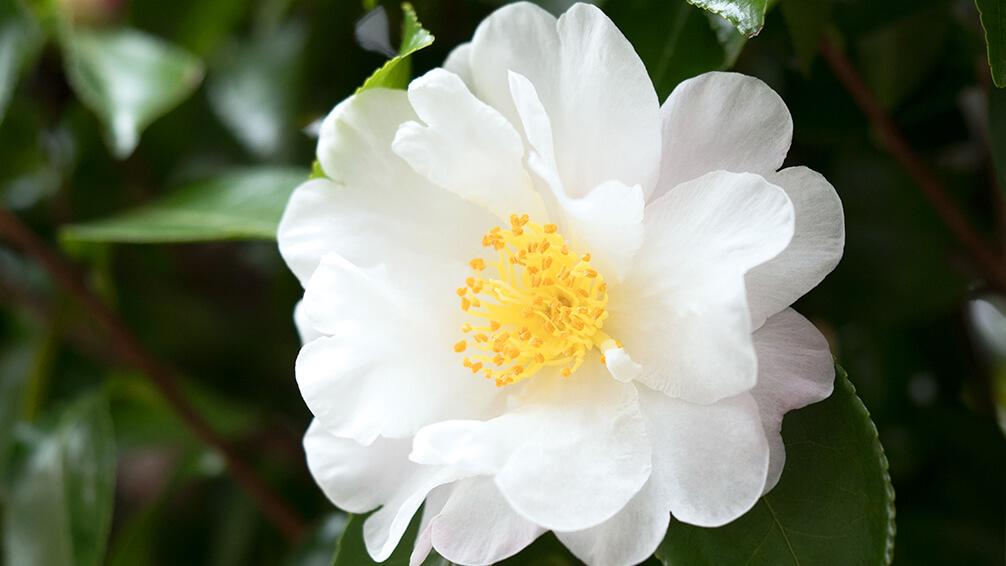 PFAS-camellias-in-houston-camellia-setsugekka