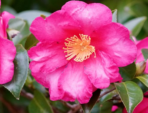 6 Camellias You Need To See To Believe
