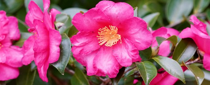 PFAS-camellias-in-houston-camellia-shi-shi-gashira