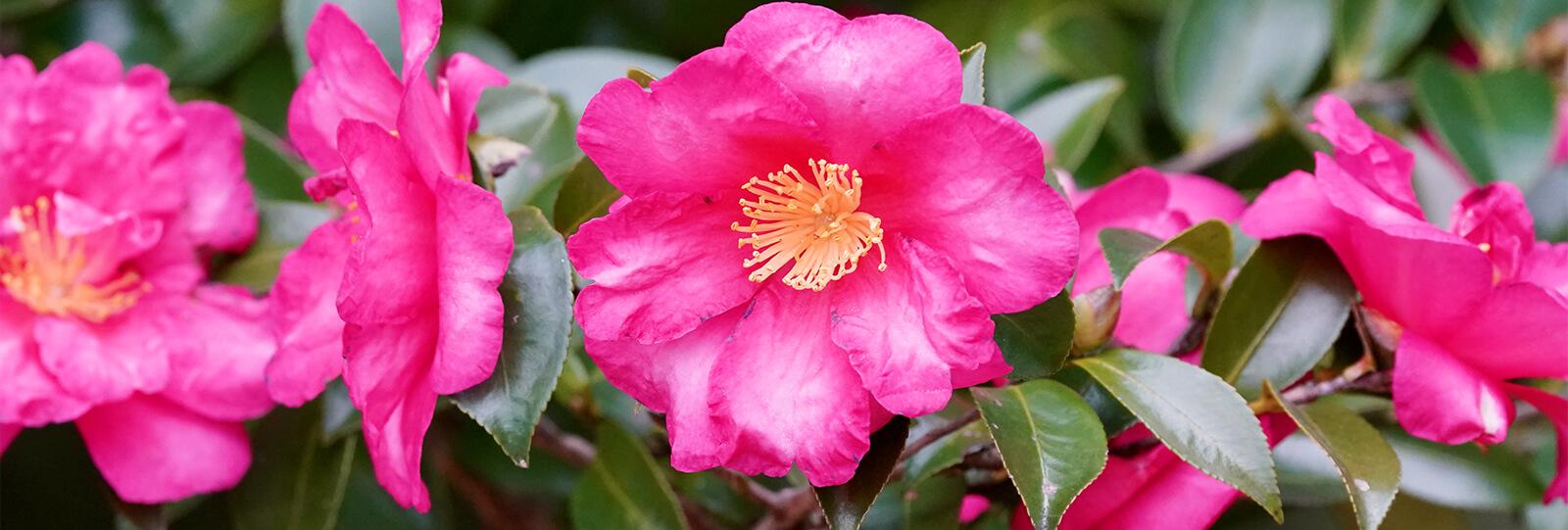 PFAS-camellias-in-houston-camellia-shi-shi-gashira