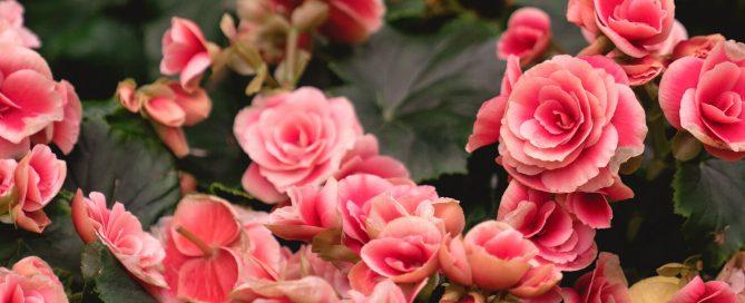 PFAS-annuals-perennials-2021-begonia