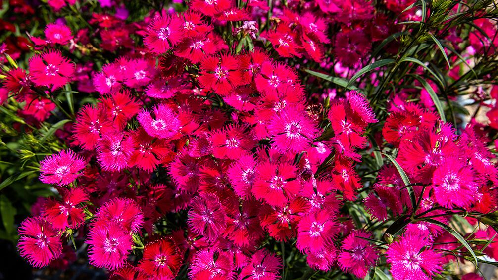 PFAS-annuals-perennials-2021-dianthus-red