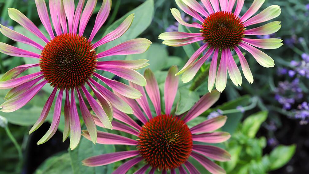 PFAS-annuals-perennials-2021-echinacea-sweet-sandia