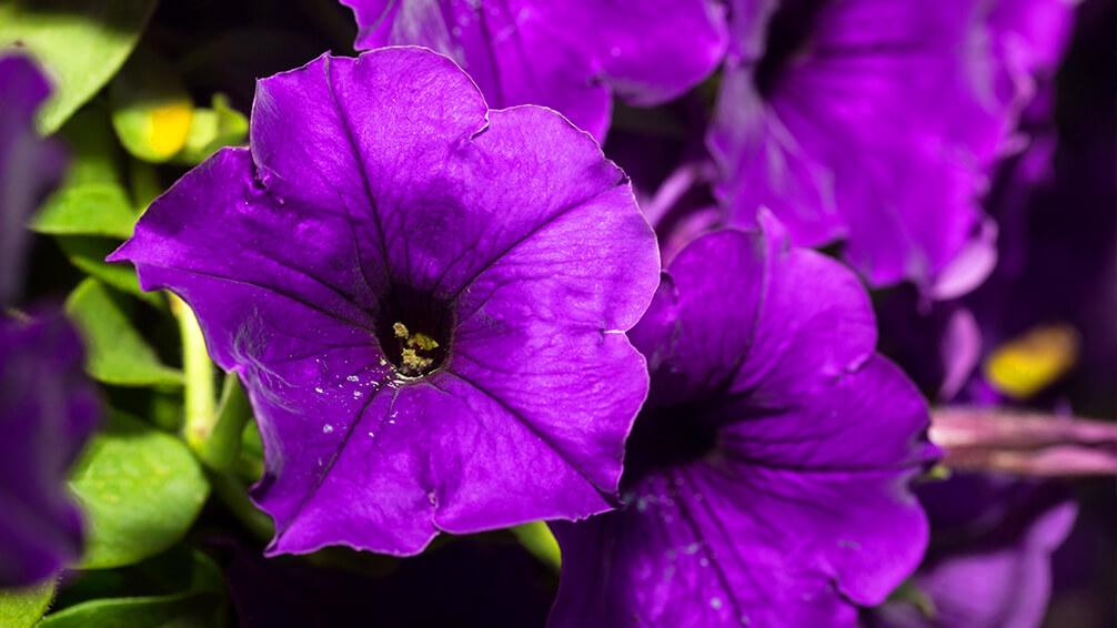 PFAS-annuals-perennials-2021-supertunia-purple