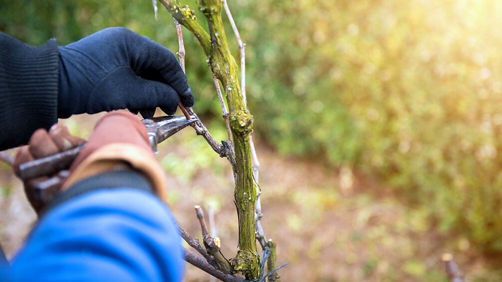 PFAS-february-pruning-gloves-grapevine