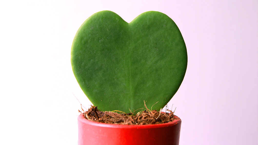 plants for all season alternatives to flowers valentines heart shaped hoya