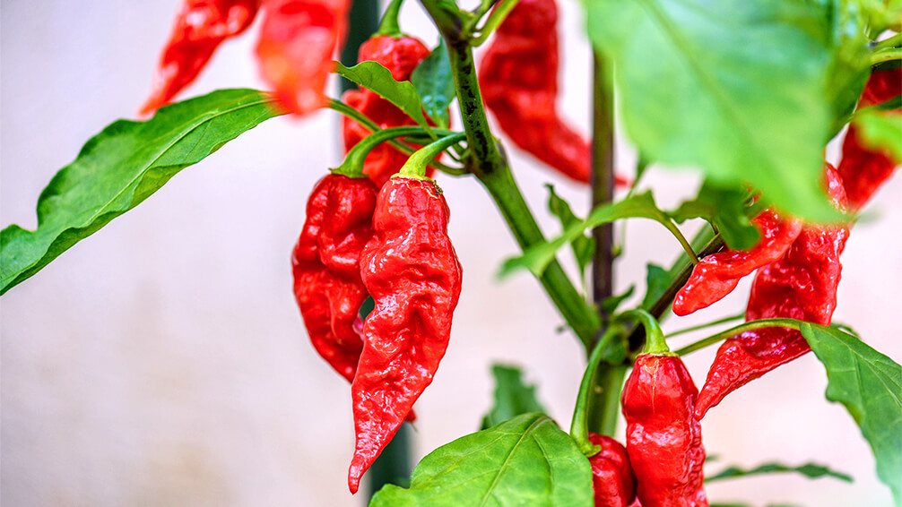 plants for all season alternatives to flowers valentines pepper plant