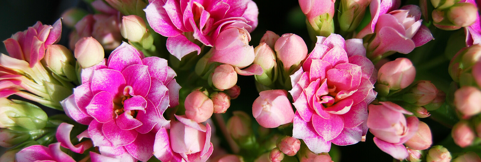 plants for all season alternatives to flowers valentines pink kalanchoe close up