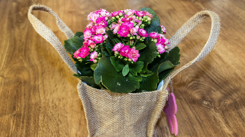 plants for all season alternatives to flowers valentines pink kalanchoe