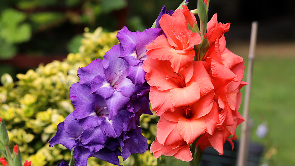 plants for all seasons summer bulbs houston gladiolus violet red orange