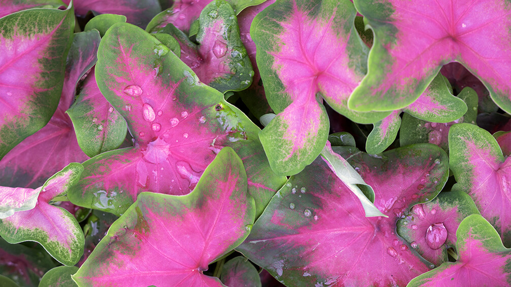 plants for all seasons summer bulbs houston pink caladium leaves