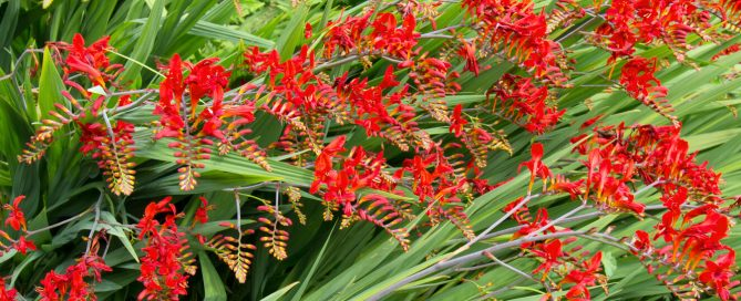plants for all seasons summer bulbs houston red crocosmia