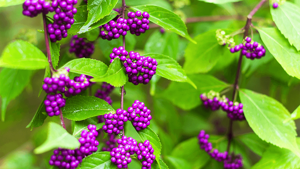plants for all seasons drought tolerant native plants beautyberry